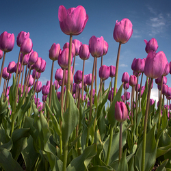 Tulpen Holland