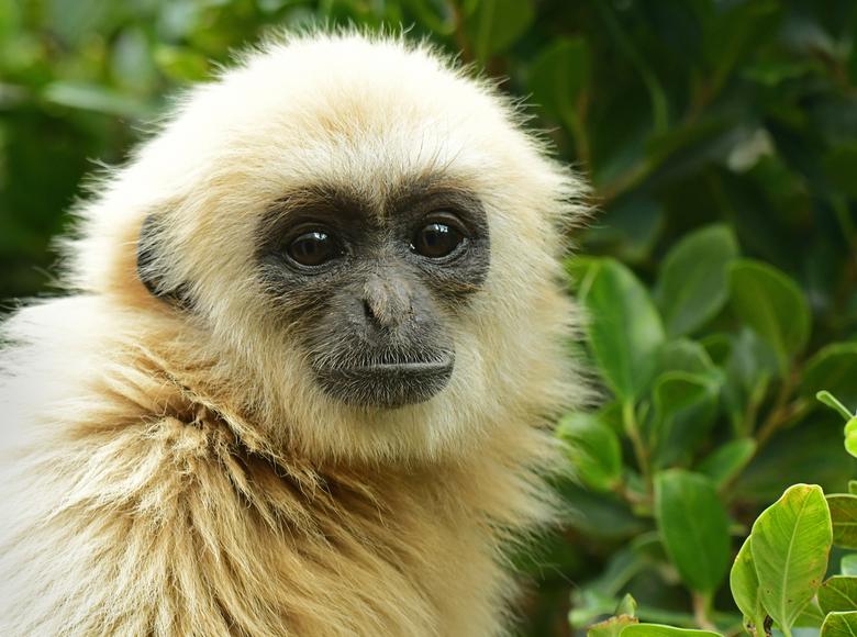 seksuele dimorfie #17 - Zowel in de vrije natuur als in dierentuinen komen withandgibbons voor in twee varianten, bruine en licht blonde dieren. De kl