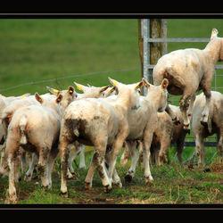 Flying sheep .....