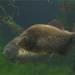 Piranha 02