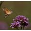 Velp 13-9-2020 Kolibrievlinder (Macroglossum stellatarum) 2