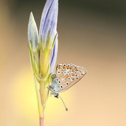 Bruinblauwtje op een gentiaan