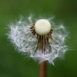 Dandelion (geblazen)
