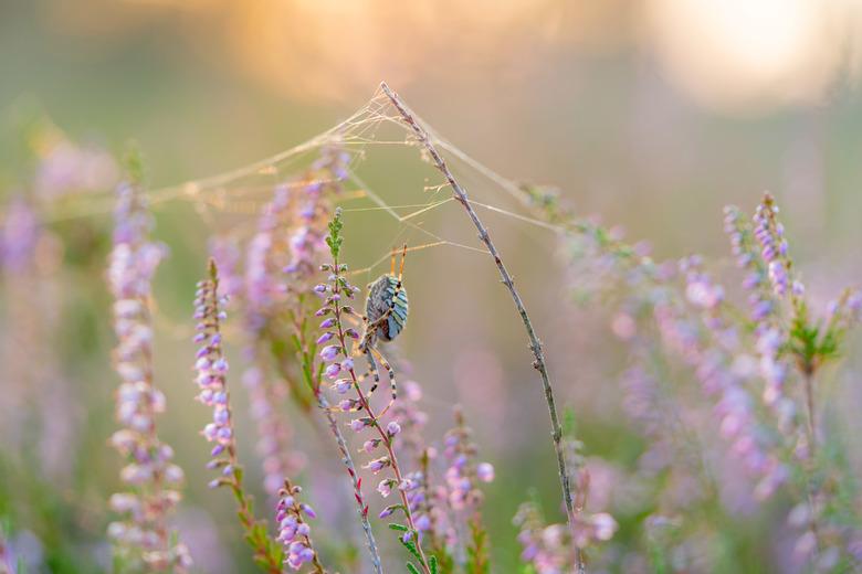 Rustig wachtend - Geduld is een schone zaak als je een spin bent