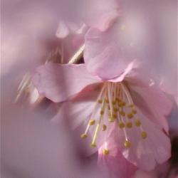 Een wolk van roze bloesem...