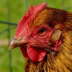 Vogel Serie 105. Kippenkop.