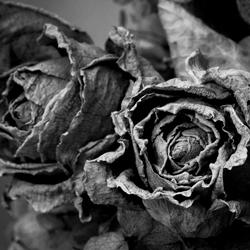 roos gedroogd