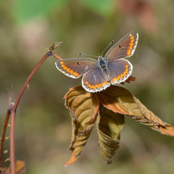 Icarusblauwtje (vrouw)