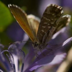 italiaanse vlinder