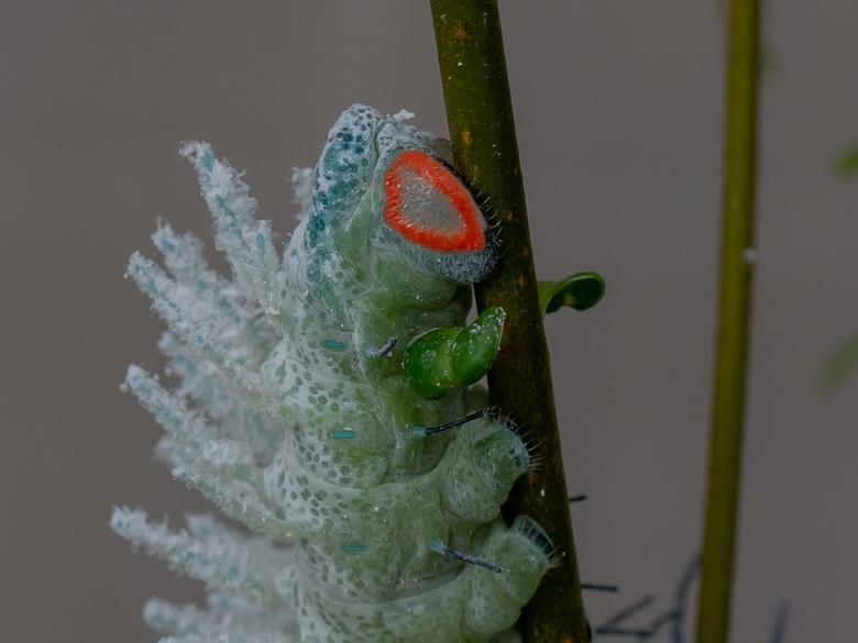 Rups van de Atlas vlinder -