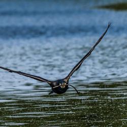 Aanvliegende vogel.