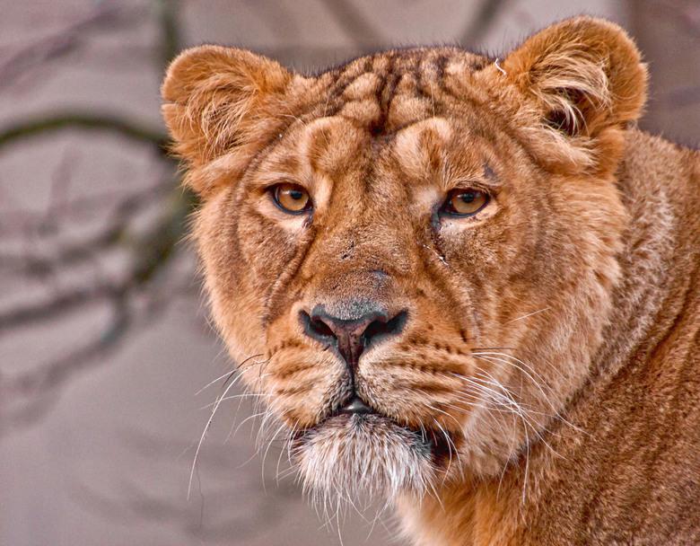 Aziatische leeuw(in) - De Perzische of Aziatische leeuw <br /> (Panthera leo persica)<br /> <br /> Diergaarde Blijdorp Rotterdam<br /> <br /> Loo