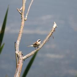 vreemde vogel....de buidelmees