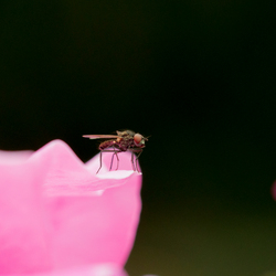 Fruitvlieg op roos