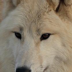 witte wolf.jpg