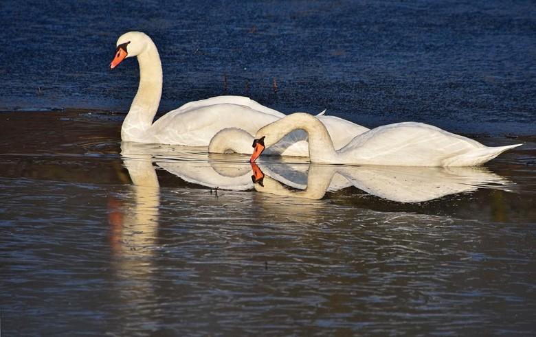 Geul - De zwanen hadden zich een geul in het ijs gemaakt, mooi om te zien hoe ze dat doen.<br /> In Boswachterij Dorst