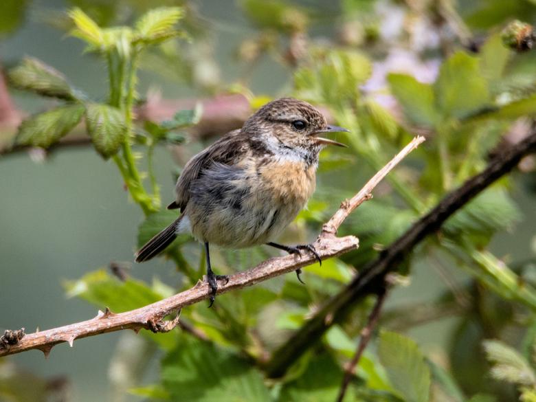 Roodborsttapuit - Wanneer ik deze vogeltjes zie slaat mijn hart sneller, het zijn zulke guitige vogeltjes.