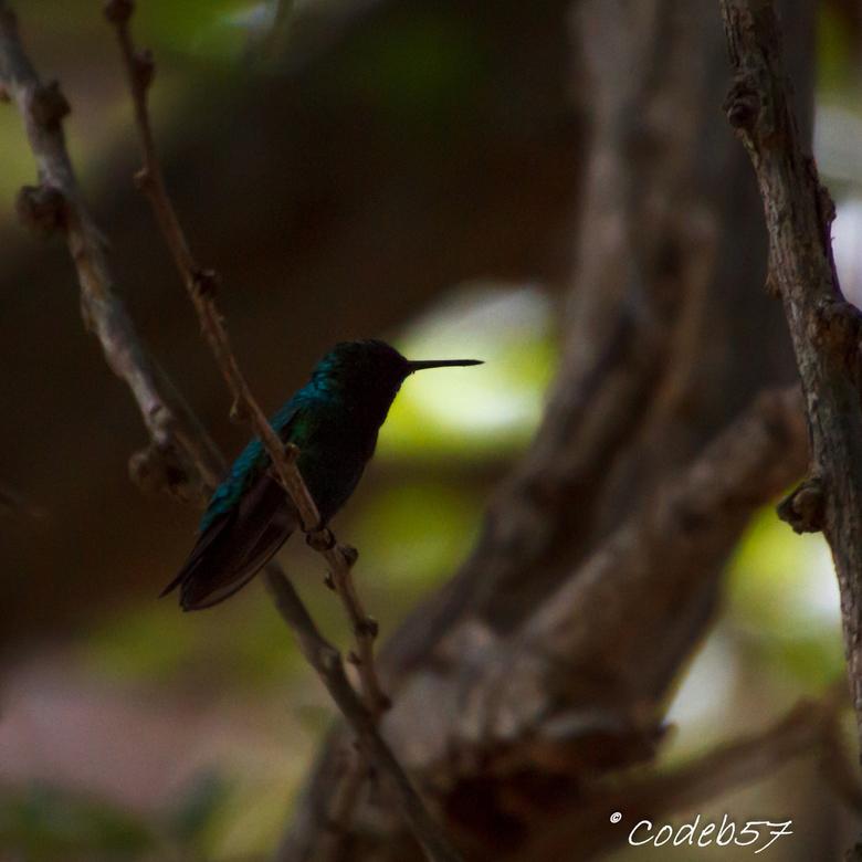Colibrie - Dit vogeltje voor mn lens te krijgen was nogal lastig, wat een vlieggraag besstje!<br /> Uiteindelijk ging hij midden in een boom zitten,