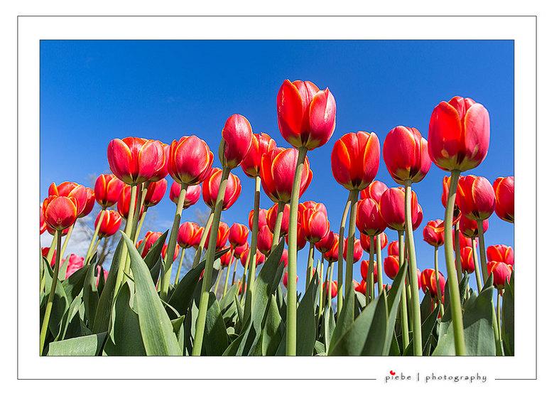 """Rode tulpen - Vanmiddag in de Noord Oost Polder geweest om nog wat tulpen te kunnen fotograferen. <br /> <br /> Groet Piebe<br /> <a href=""""http://w"""