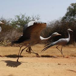 Blue cranes.jpg