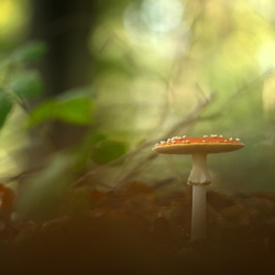 The king of the mushrooms