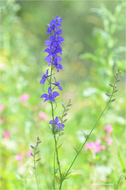 Wilde ridderspoor - Op een braak liggend stuk grond bij ons in de buurt  dit bloemetje gespot, de bloem in de schaduw gezet en het geheel een beetje o