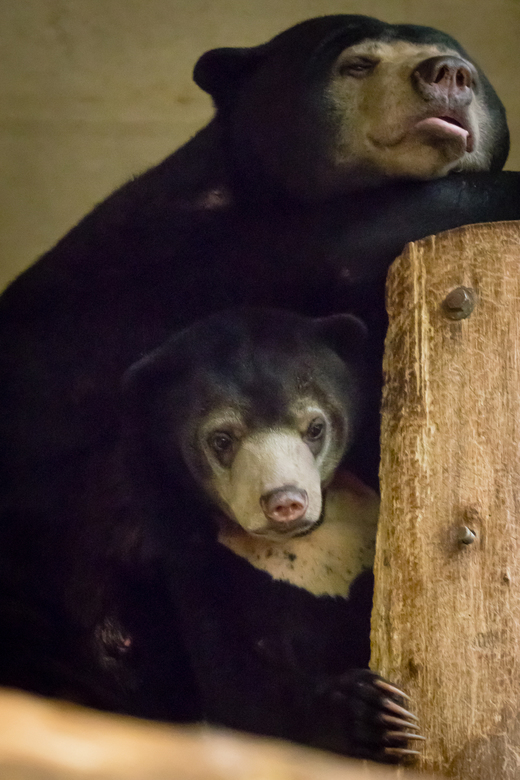 Moeder met jong - Dit is het jongste jong van de Maleise beren in Burgers&#039; Zoo. Moeder zit er super relaxed bij  terwijl jong de wereld verkent.<