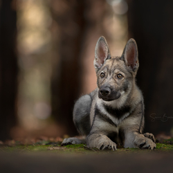 Wolfhond in het bos