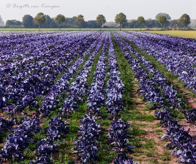 Purple Greens - Vandaag een heerlijke fietstocht van 50 km door de natte Biesbosch gemaakt, langs vele landerijen en waters<br /> Dit rode kool veld