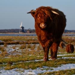 Schotse hooglander in de polder