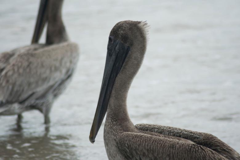 Pelikanen -