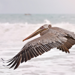 Vliegende pelikaan
