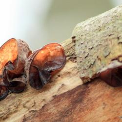 Oortjes aan de boomstam