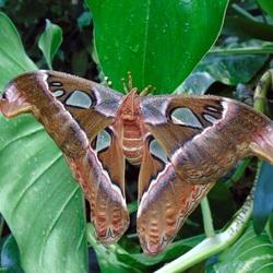 Atlasvlinder (Attacus atlas)