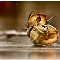 When a rose lost her final glance....