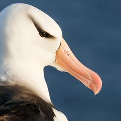Wenkbrauw-albatros