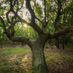Winding Oak