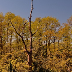 De oude dode boom.