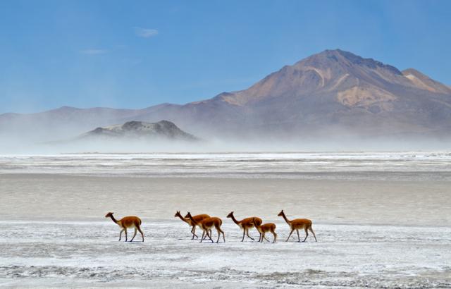 Vicuna's op de zoutvlakte in het noorden van Chili