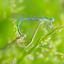 Paringswiel Waterjuffers