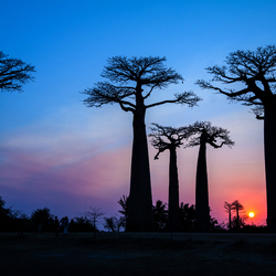 Madagaskar Allee des Baobabs