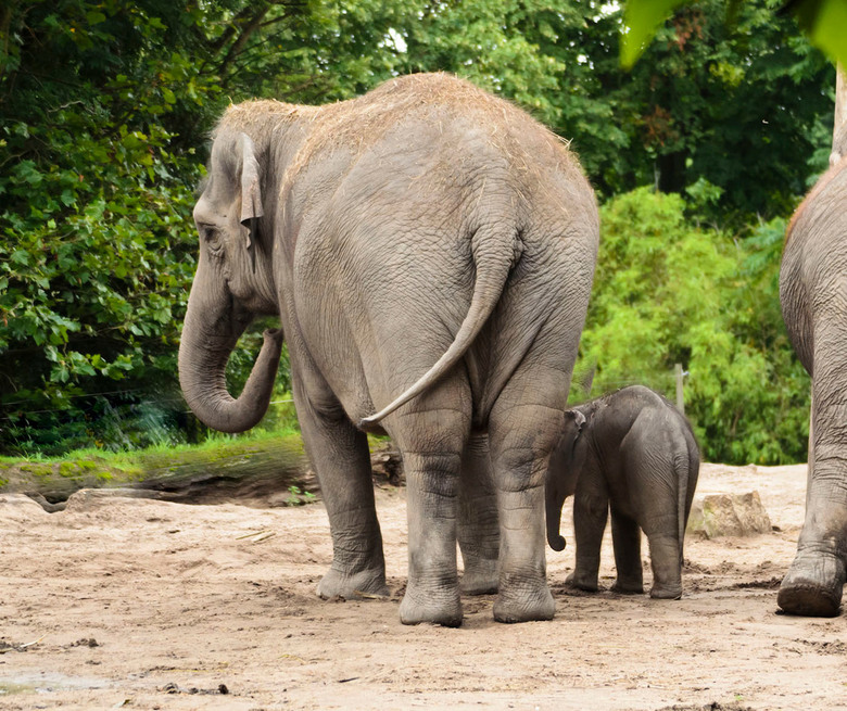 Olifantenmoeder met haar kroost - Moeder Olifant is aan de wandel met haar kroost.<br /> Het is altijd prachtig om te zien hoe de moeder het Oliefant