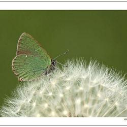 Groen op Pluis groen*