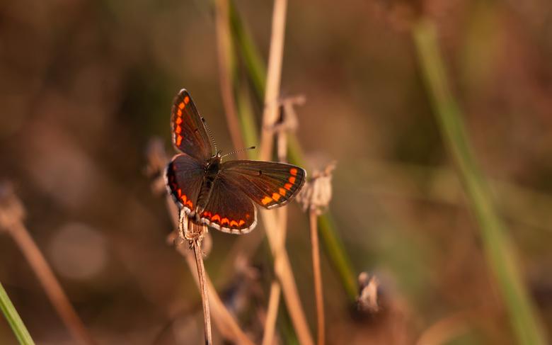 Blauwtje - Weet even niet welke soort.. ze zijn in ieder geval prachtig met de mooie gekleurde vleugeltjes
