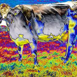 Ik blijf een koe