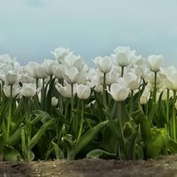 Grey weather tulips