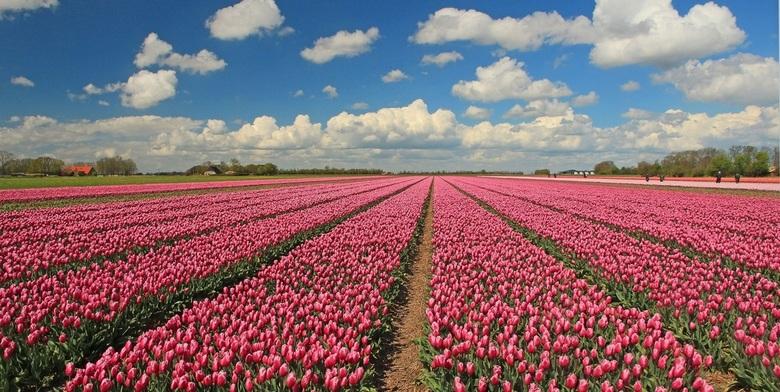 Afbeeldingsresultaat voor tulpen veld