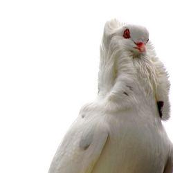 Trotse duif