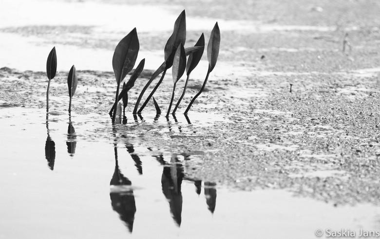 Dutch Mangrove - Als gecamoufleerde soldaten achter hun schild...