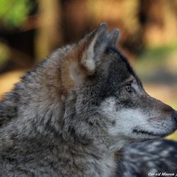 Blijdorp heeft een mooie groep wolven in zijn tuin.